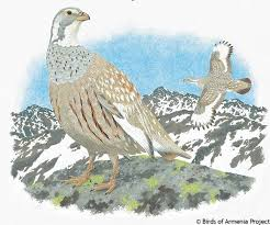caspian snowcock